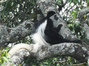 A Black-and-white Colobus monkey rests in a tree in Arusha National Park