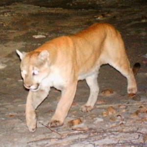 Mountain lion walking