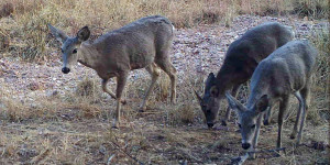 3 white-tailed deer