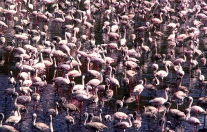 Dense crowd of Lesser Flamingos in lake.