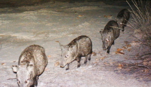 4 javelinas walking in line