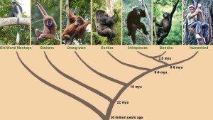 Graphic showing family tree of apes and man.