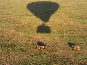 Aerial view of wildebeest and balloon shadow on Serengeti Plain