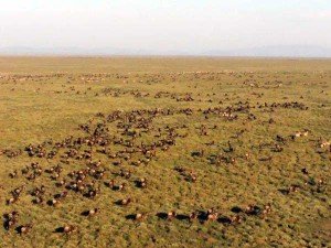 Aerial view of wildebeest herd