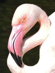 Close-up of Greater Flamingo head.