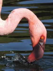 Close-up of Lesser Flamingo head
