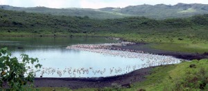 Lake Momella in Tanzania with dense fringe of flamingos