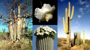 Photo of baobab and saguaro plants, with insets showing their flowers